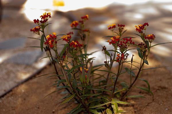 14-milkweed