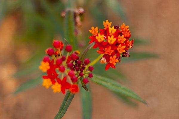 15-milkweed-flower